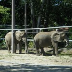 Elephants @ Roger Williams Zoo