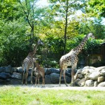 Giraffes @ Roger Williams Zoo