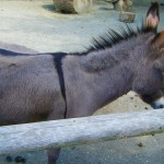 Mule @ Roger Williams Zoo