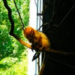 Mandarin Monkey @ Roger Williams Zoo