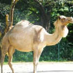 Camel @ Roger Williams Zoo