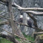 Bald Eagle @ Roger Williams Zoo