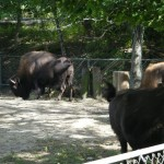 Buffalo @ Roger Williams Zoo